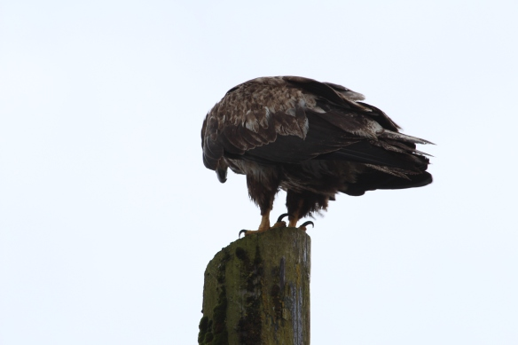 Lords pocket, Thorne bay, eagles in Ketchikan 2017 101